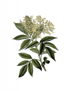 botanical illustration Elderberry