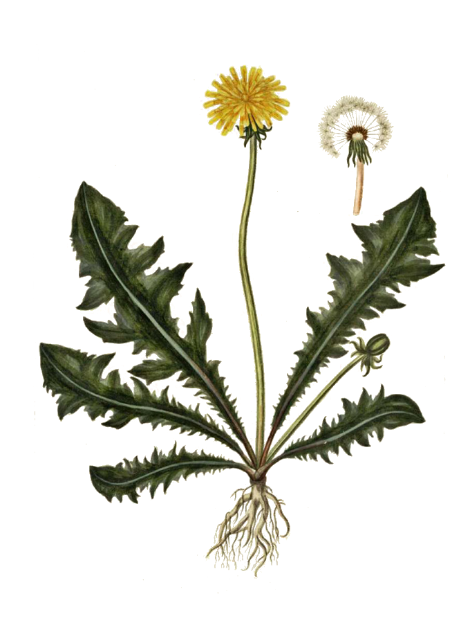 Dandelion – weed with many benefits