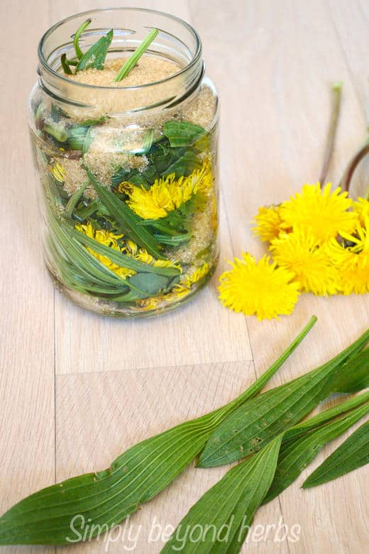 layers of ribwort plantain & dandelion blossoms to make cough syrup