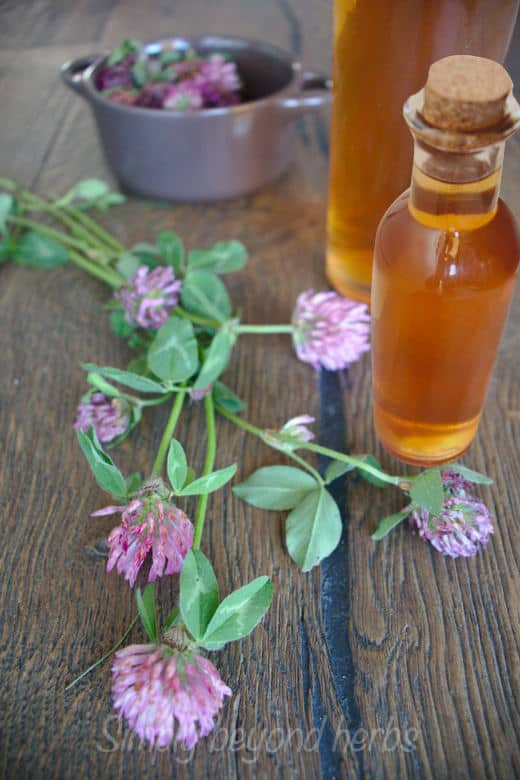 red clover medicinal vinegar in a bottle with red clover blossoms