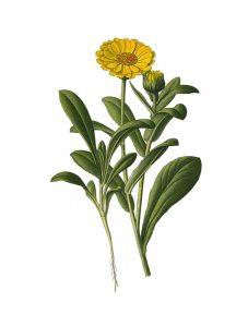 calendula (pot marigold)