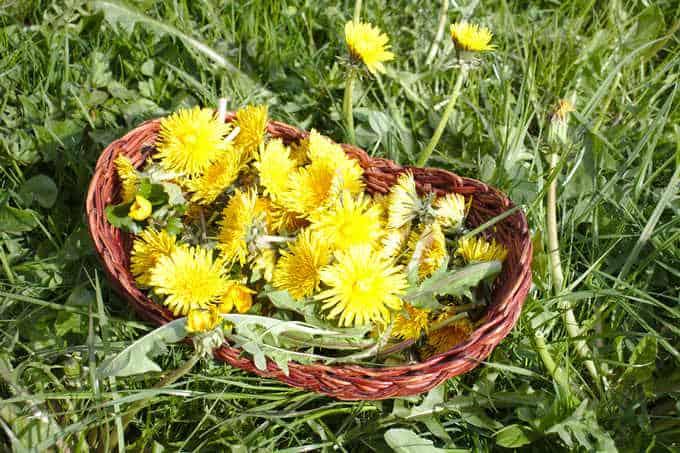 basket full of dandelions