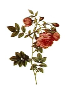 botanical illustration of rose