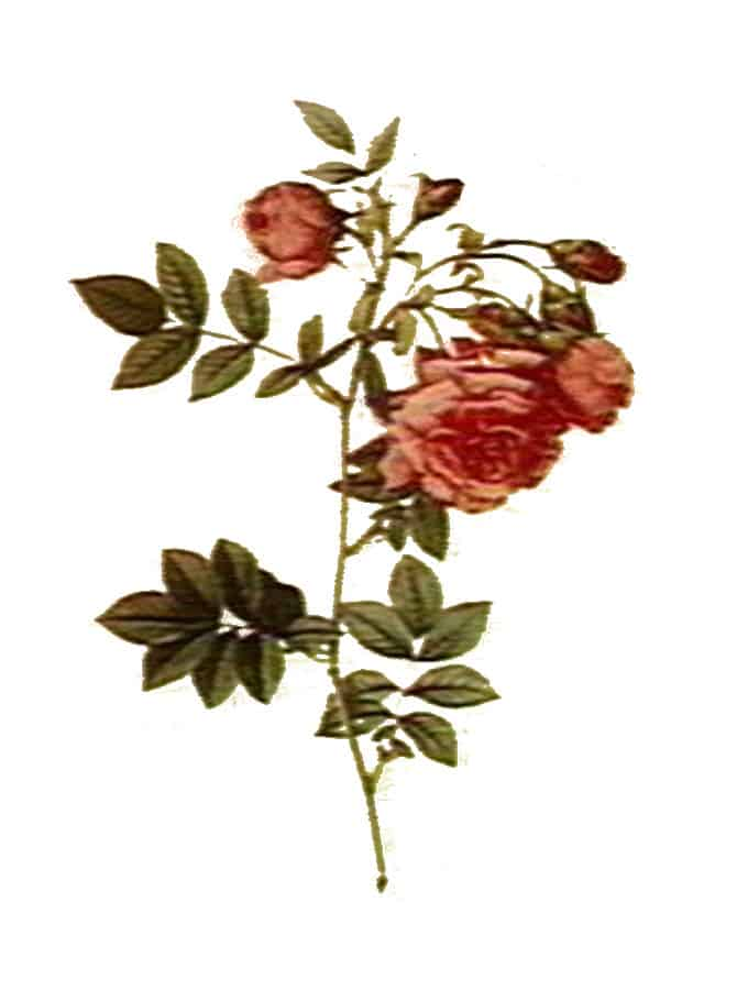rose botanical illustration