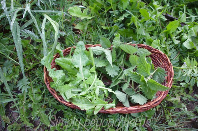 young nettle and dandelion leaves