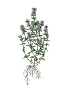 Botanical illustration of Thyme