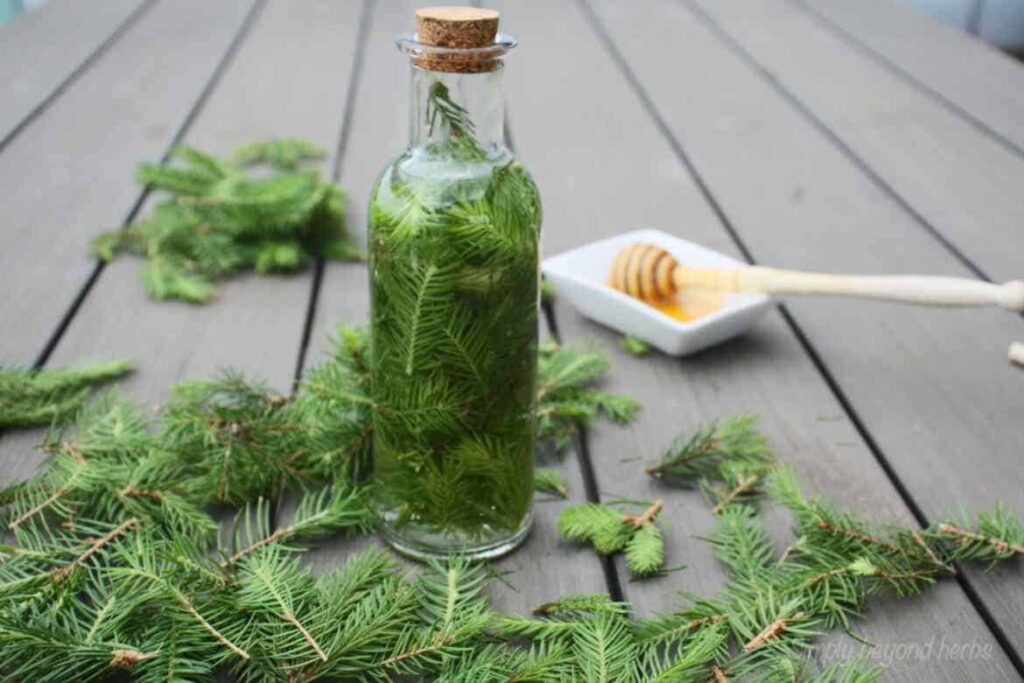 tincture made of spruce tips to get stronger