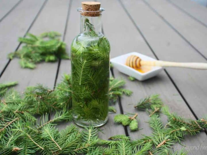 How to make a tincture with wild spruce tips