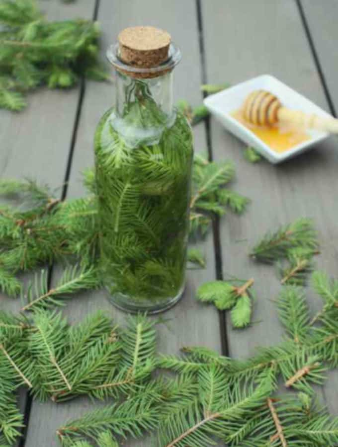 spruce tips tincture