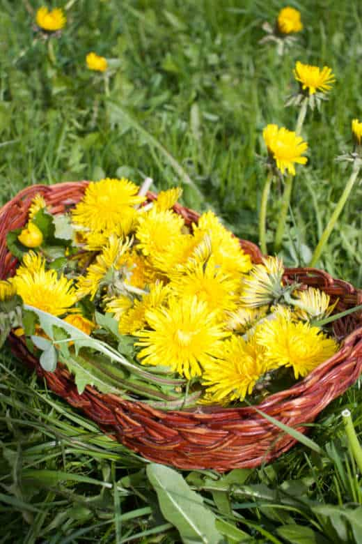 flowers of dandelions collected on a sunny day