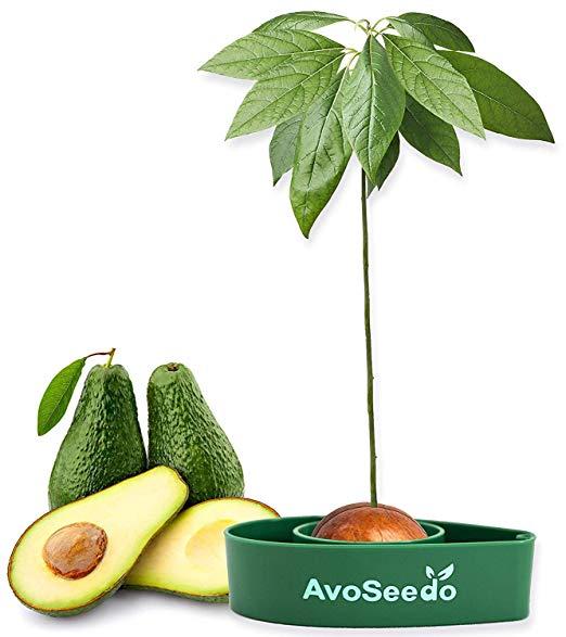Avocado Tree Growing Kit