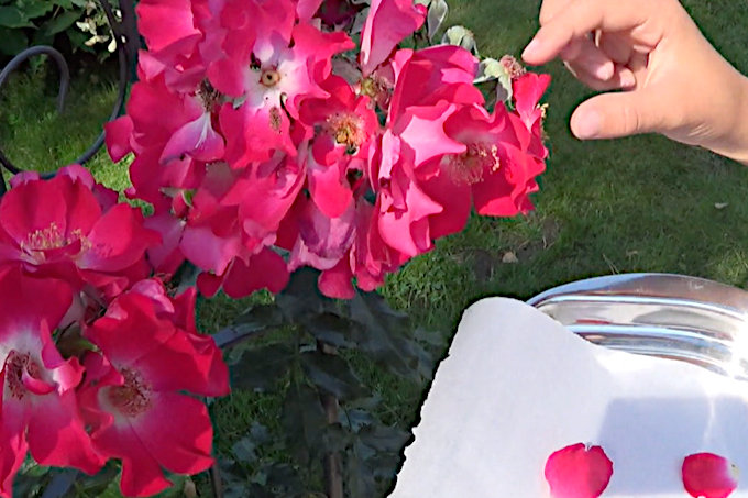 selecting my roses